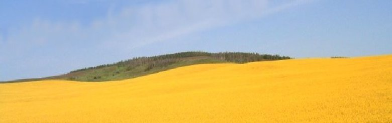 Field of Yellow Wheat
