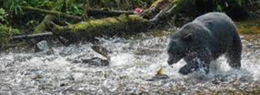 Black Bear Fishing in River